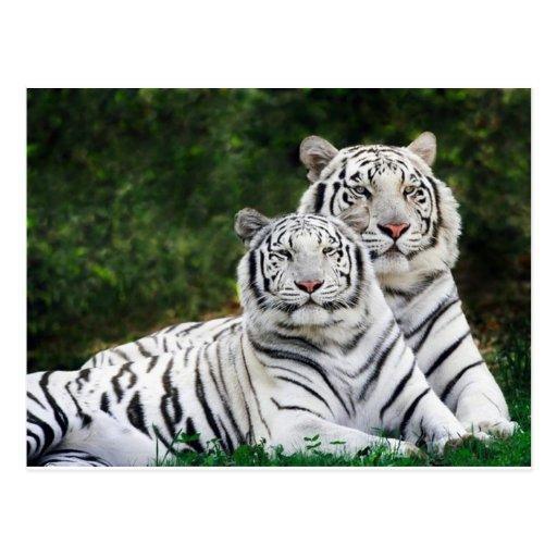 pares del tigre postales