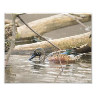 Pato del pato cuchara septentrional a lo largo de impresión fotográfica
