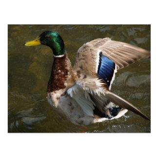 pato del pato silvestre alrededor para volar la postal