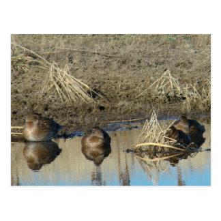 Patos juveniles del pato silvestre B0020 Postal