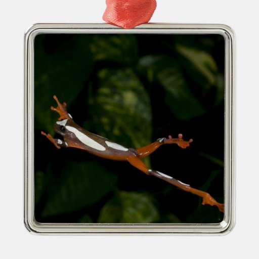 Payaso Treefrog, leucophylatta del Hyla, nativo a Ornaments Para Arbol De Navidad