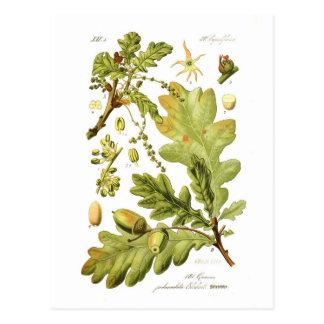 Pedunculata del quercus (roble inglés) tarjeta postal