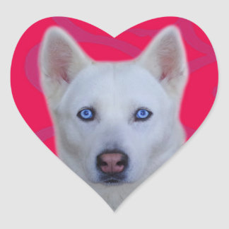 Pegatina blanco del husky siberiano (fondo rosado)