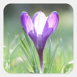 Pegatina Cuadrada Azafrán púrpura en la primavera 03,3