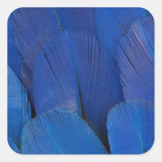 Pegatina Cuadrada Diseño azul de la pluma del Macaw del jacinto