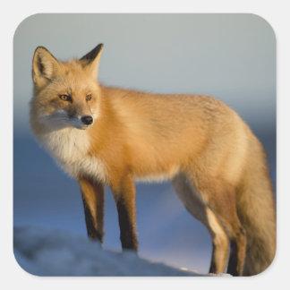 Pegatina Cuadrada Envoltorio para regalos del Fox, zorro del