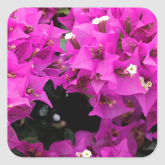 Pegatina Cuadrada Fondo fucsia púrpura del Bougainvillea