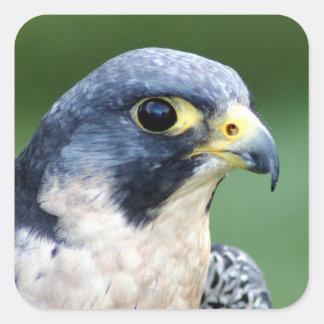 Pegatina Cuadrada Foto de la cara del halcón de peregrino