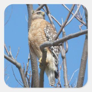 Pegatina Cuadrada halcón, pájaro, pájaro de la presa, el halcón del