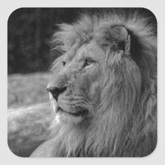 Pegatina Cuadrada León negro y blanco - animal salvaje