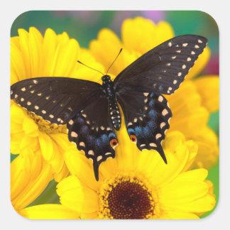 Pegatina Cuadrada Mariposa negra de Swallowtail