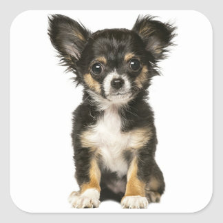 Pegatina Cuadrada Perro de perrito largo de la chihuahua del pelo -