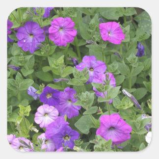 Pegatina Cuadrada Petunia púrpura del tema del jardín de la