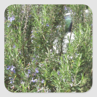 Pegatina Cuadrada Planta de Rosemary con las flores. Toscana, Italia