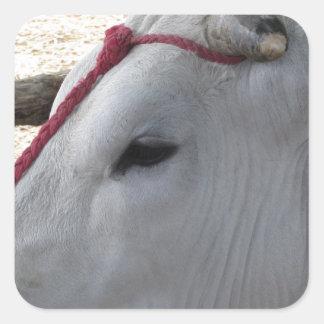 Pegatina Cuadrada Retrato del Chianina, raza italiana del ganado
