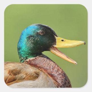 Pegatina Cuadrada retrato del pato del pato silvestre