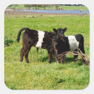 Pegatina Cuadrada Vacas ceñidas bebé de Galloway, pegatinas