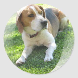 Pegatina del perro de caza del beagle