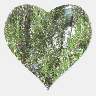 Pegatina En Forma De Corazón Planta de Rosemary con las flores. Toscana, Italia