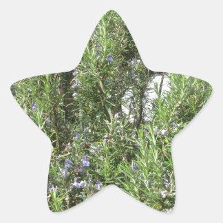 Pegatina En Forma De Estrella Planta de Rosemary con las flores. Toscana, Italia