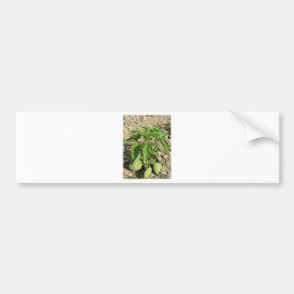 Pegatina Para Coche Escoja la planta fresca de la albahaca que crece