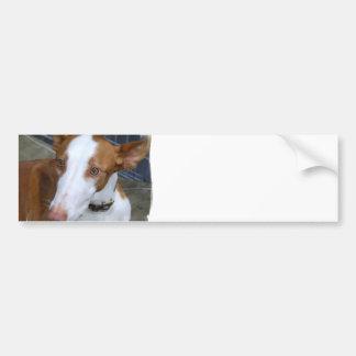 Pegatina para el parachoques del perro de Ibizan Etiqueta De Parachoque