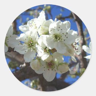 Pegatina Redonda El flor blanco agrupa el peral floreciente de la