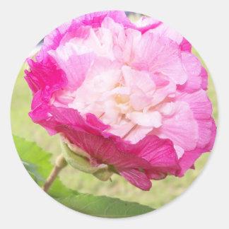Pegatina Redonda floración cambiable del rosa y blanca del hibisco