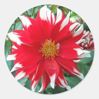 Pegatina Redonda Floración roja y blanca de Dalhia floral