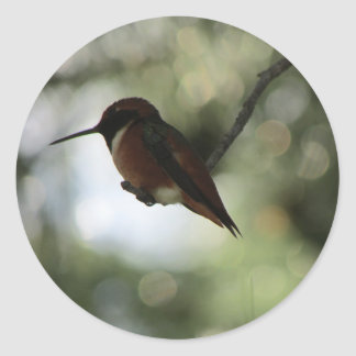 Pegatina Redonda Pegatinas del colibrí de Allen