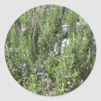 Pegatina Redonda Planta de Rosemary con las flores. Toscana, Italia