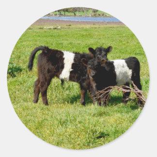 Pegatina Redonda Vacas ceñidas bebé de Galloway, pegatinas redondos