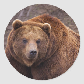 Pegatina redondo clásico, oso de Brown brillante Pegatina Redonda