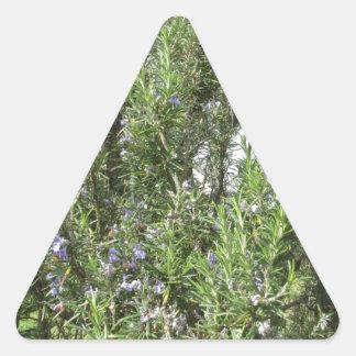 Pegatina Triangular Planta de Rosemary con las flores. Toscana, Italia