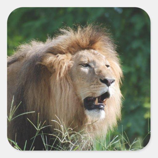 Pegatinas del león que gruñen calcomania cuadradas personalizada