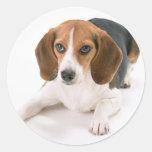 Pegatinas del perro del beagle pegatina redonda