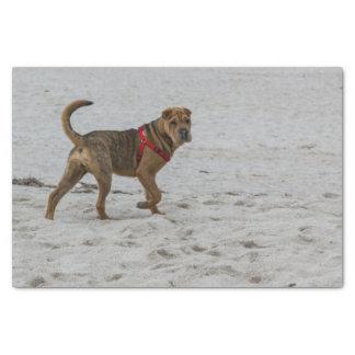 pei shar en la playa papel de seda