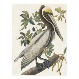 Pelícano de Brown de Audubon Postal