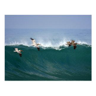 Pelícanos que practican surf postal