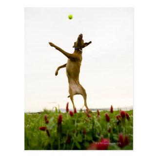 Pelota de tenis de cogida del perro en mediados postal