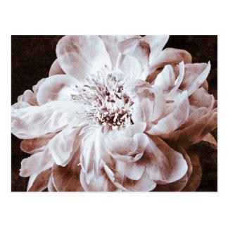 Peonies blancos y negros de la sepia de la flor postal
