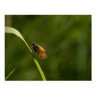 Pequeña mariposa del capitán postal
