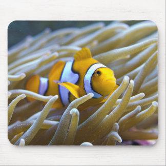 Percula verdadero Clownfish en anémona Alfombrilla De Ratón