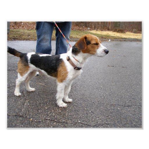 Perfil de una colocación de Jack Russell Terrier Impresion Fotografica