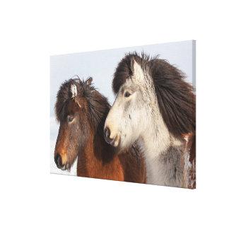 Perfil islandés del caballo, Islandia Lienzo