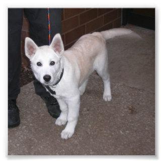 Perrito blanco del pastor alemán cojinete