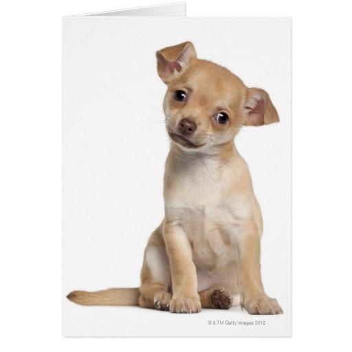Perrito de la chihuahua (2 meses) felicitaciones