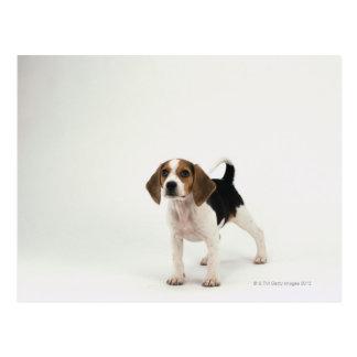 Perrito del beagle tarjeta postal