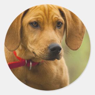 Perrito del perro de caza del Coon de Redbone Etiquetas Redondas