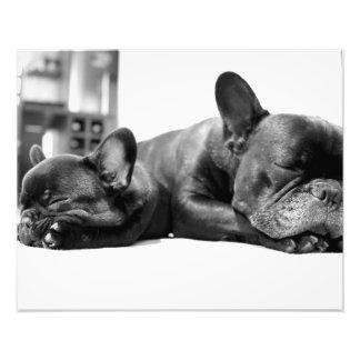 Perritos de los dogos franceses que duermen de impresiones fotograficas